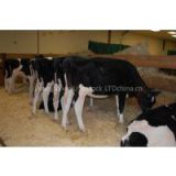 ALive Boer Goats,Live Friesian Holstein Cow.Pregnant Holstein Cow