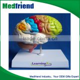 Medical Brain Anatomical Model for Educational purpose/Use