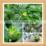 tribulus terrestris leaf extract/tribulus terrestris extract 80%/pure tribulus terrestris extract powder