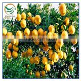 Sweet Nanfeng Baby orange