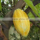 high qulity and low price cacao/cocoa beans/nibs/seeds