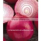 small yellow fresh onion from China
