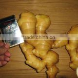 organic fresh ginger