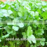 YanSui chinese large leaves good yield Coriander seeds