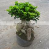 Ginseng ficus artificial leaves