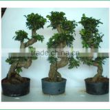 S shaped ficus ginseng microcarpa bonsai tree banyan ficus indoor ornamental decorative plants nursery