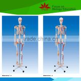 With colored muscle and ligament adult whole body skeleton model for student or doctor