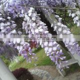 Wisteriasinensis Flower seeds Purple Wisteria Sinensis Seeds Fragrant Flowers for growing