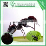 Online shopping pure polyrhachis ant powder