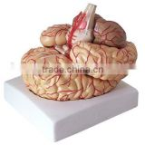 showing model of brain ,cerebral arteries and function position Brain Anatomy Model