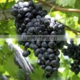 Fresh and delicious fruits, grapes