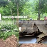 New arrival Vietnam high grade, reasonable price Agar wood Chips or oud wood chips