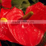 Durable antique anthurium flowers napkin ring