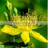 Health and beauty product St. John's Wort Extract Powder/Hypericum Perforatum L./0.3 % Hpericin