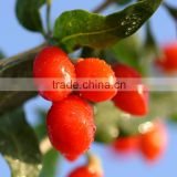 Ningxia Zhongning Nutritious Dried Goji berries Goji berry dried fruit Dried wolfberry Chinese wolfberry dried Gojihome
