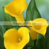 Fresh Cut Flower Yellow Calla Lily With High Quality And Reasonable Price For Wedding Table Centerpiece Decoration
