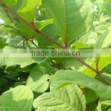 supplier bulk wholesale resveratrol powder, 98% polygonum cuspidatum resveratrol botanical extract