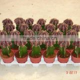 Grafted brown cacti for indoor Gymnocalycium Mihanovichii cactus from professioanl nursery