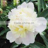 High quality of White Peony Root Extract / White Peony Extract powder / 30% paeoniflorin by HPLC