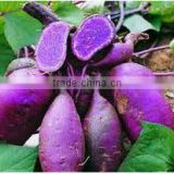 pure natural Purple Sweet Potato Extract manufacture ISO, GMP, HACCP, KOSHER, HALAL certificated