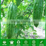 BG01 Cuiyu no.1 green long bitter gourd seeds for planting