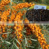 Chinese High Yield Big Fruit Type Hippophae Rhamnoides Seeds/SeaBuckthorn Seed For Growing