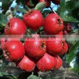 GMP factory supply good quality Hawthorn Leaf Extract / Hawthorn berry extract / 2% Hyperosides