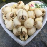 Lotus Seed Lotus Nut Lotus Kernel Dried Handmade White Lotus Seed with Core Plumule