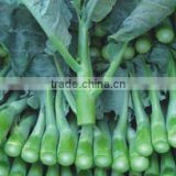 High quality big-stalk kailan seeds chinese kale seeds cabbage chinese Vegetable for planting