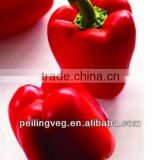 New Red Round Sweet Pepper Exporter from Shougung