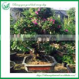 Natural Plants Flowering Bougainvillea Bonsai