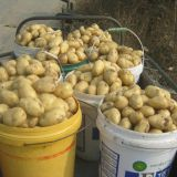 fresh potato,100g-150g,lowest price in china factory