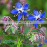Borage Oil - Pure & Natural with 100% Guarantee
