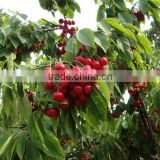 Red cherry fruit tree seeds for Growing