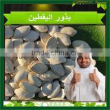 2015 GWS Pumpkin Seeds Grown Without Shell,Pumpkin Seeds Shine Skin &GWS, China Pumpkin Seed Kernels GWS AA &A