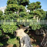 natural live ficus microcarpa outdoor tree