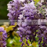 Wisteria Tree Seeds Chinese Wisteria sinensis Seeds Vine Purple Flowers Bonsai Seeds For Planting