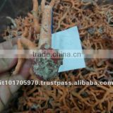 excellent quality red italian coral rough