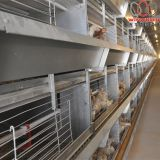 Swaziland Poultry Farm Automatic Broiler Chicken Cage & Meat Chicken Cage & Chicken Coop in Chicken Shed