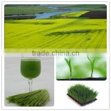 organic barley grass powder/barley grass extract/green barley grass powder