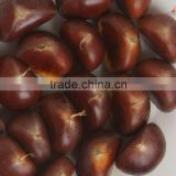 supper chestnut for sale