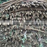 2014 Fresh China Burdock Root