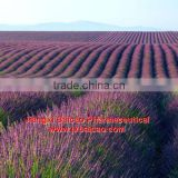 manufacturer wholesale pure organic lavender essential oil in bulk for soap making