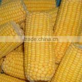 Supply IQF frozen sweet corn On The Cob