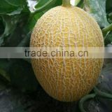 Hybrid Gift melon muskmelon seeds Cantaloup Hami melon seeds for growing and sale-ke Mi No.20
