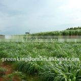 Perennial Tropical Forage Seeds Chinese Supplier