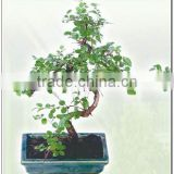 Indoor garden mini bonsai from Professional nurseries in China sageretia theezans bonsai