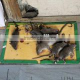 Mouse Glue catcher with reasonable price Indoor nature powerful
