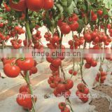 Inquiry about hybrid F1 tomato seeds