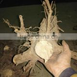 Inquiry about Big paulownia shan tong stump for fast growing